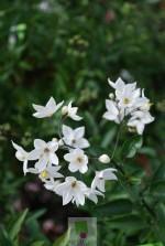 Solanum jasminoides 'Album' (Blanc)