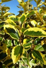Eleagnus ebbingei 'Gilt Edge'
