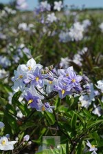 Solanum jasminoides (Bleu)