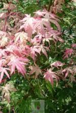 Acer palmatum 'Asahi zuru'